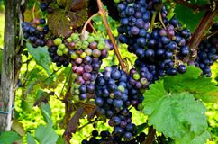Rött vin: Vinranka med druvor för tappning och skörden, sydliga Styria Österrike Arkivbilder