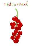 Rött vinbärbär Arkivfoton