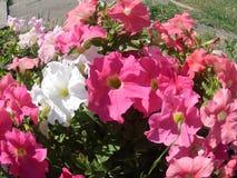 Rött - vit petunia Royaltyfria Bilder