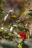 rött wild för bär Royaltyfri Fotografi