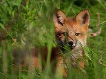 rött wild för rävvalp Royaltyfri Bild