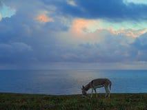 Röv på stranden Royaltyfri Fotografi