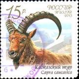 RÚSSIA - CERCA DE 2013: O selo postal impresso em Rússia mostra o caucasica caucasiano da cabra do tur, série da fauna de Rússia Imagens de Stock