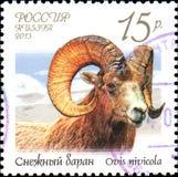 RÚSSIA - CERCA DE 2013: O selo postal impresso em Rússia mostra o nivicola do Ovis dos carneiros da neve, série da fauna de Rússi Fotografia de Stock Royalty Free