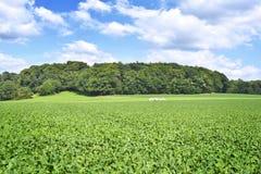 Rübenfeld in der Sonne Lizenzfreie Stockbilder