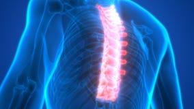 Rückenmark ein Teil menschliche Skeleton Anatomie-Brust- Wirbel lizenzfreie abbildung