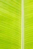 Rückseite beleuchtetes frisches grünes Bananenblatt stockbild