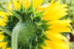 Rückseite der frischen Sonnenblume Stockbilder