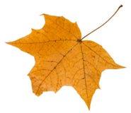 Rückseite des Herbstblattes des Ahornbaums lokalisiert Stockbild