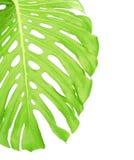 Rückseite des tropischen Blattabschlusses oben Stockfotografie