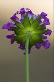 Rückseite einer violetten Blume im Grau Stockbild