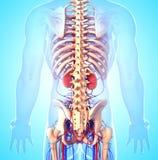 Rückseiteansicht des männlichen Skeletts mit Nieren Stockbild