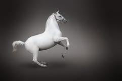 Rückseitenansicht des weißen Pferds getrennt auf Schwarzem Stockfoto