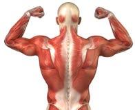 Rückseitiges muskulöses Systemshinterteil des Mannes in der Erbauerhaltung Lizenzfreie Stockfotos