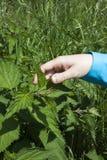 Rührende Blätter der stechenden Nessel Lizenzfreie Stockbilder