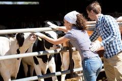 Rührende Kühe des Mannes und der Frau Lizenzfreies Stockbild