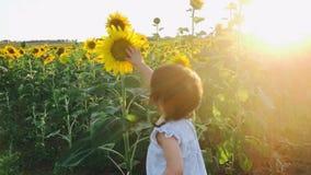 Rührende Sonnenblumen des kleinen Mädchens mit ihrem Finger durch das Gehen in das Sonnenblumenfeld stock video