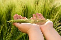 Rührender Weizen Stockbild