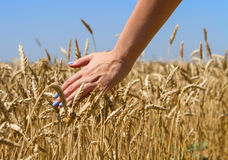 Rührender Weizen des Mädchens Hand Stockfoto
