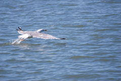 Rührendes Wasser des Fliegenseevogels Lizenzfreies Stockfoto