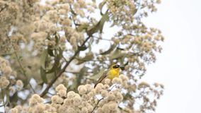 Rüppell`s Weaver on a twig. A beautiful yellow Rüppell`s Weaver Ploceus galbula on a twig stock footage