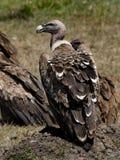 Rüppells griffon vulture, Kenya Royalty Free Stock Photo