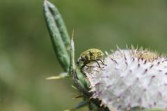 Rüsselkäfer auf Blume Lizenzfreies Stockfoto