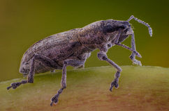 Rüsselkäfer auf dem Grasmakro Lizenzfreies Stockbild