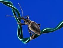 Rüsselkäfer auf Draht Stockfotografie