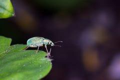 Rüsselkäfer auf einem Blatt Stockbild
