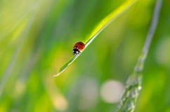 Rüsselkäfer auf Gras stock abbildung