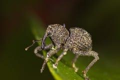 Rüsselkäfer auf Seitenansicht des grünen Blattes Stockfotografie