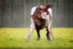 Rütteln des nassen Hundes Lizenzfreies Stockbild