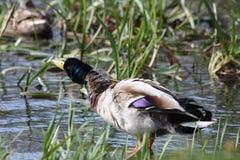 Rütteln weg von einer Ente Stockbild
