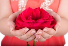ręce czerwona róża Fotografia Stock