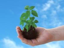 ręce roślinnych Zdjęcia Stock