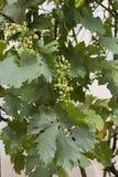 ręce winogron ilustracja etykietowania oryginału odpowiedniego malującego mojej winnicy wino Fotografia Stock