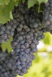 ręce winogron ilustracja etykietowania oryginału odpowiedniego malującego mojej winnicy wino Zdjęcie Royalty Free