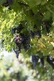 ręce winogron ilustracja etykietowania oryginału odpowiedniego malującego mojej winnicy wino Obraz Royalty Free