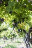 ręce winogron ilustracja etykietowania oryginału odpowiedniego malującego mojej winnicy wino Obraz Stock