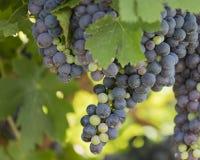 ręce winogron ilustracja etykietowania oryginału odpowiedniego malującego mojej winnicy wino Zdjęcia Royalty Free