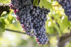 ręce winogron ilustracja etykietowania oryginału odpowiedniego malującego mojej winnicy wino Obrazy Stock