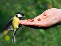 ręce zjeść orzecha laskowego cycek Zdjęcia Stock