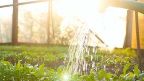 Ręczny podlewanie saplings w szklarni swobodny ruch zbiory