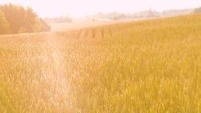 Ręczny złoty żyta pszenicznego pola żniwa uprawiać ziemię zdjęcie wideo