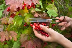 Ręczny zbierać viburnum jagody w ogródzie obraz stock