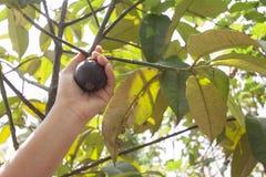 Ręk kobiety zbierali mangostan na drzewie obraz royalty free
