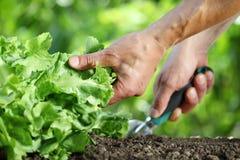 Ręk pracy ziemia z narzędziem, zielona sałaty roślina w warzywie Obrazy Stock