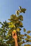 Ręka białej kobiety junactwo zielony jabłko od gałąź z obrazy royalty free