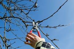 Ręka chwyta secateurs przycina jabłoni gałąź Obrazy Stock